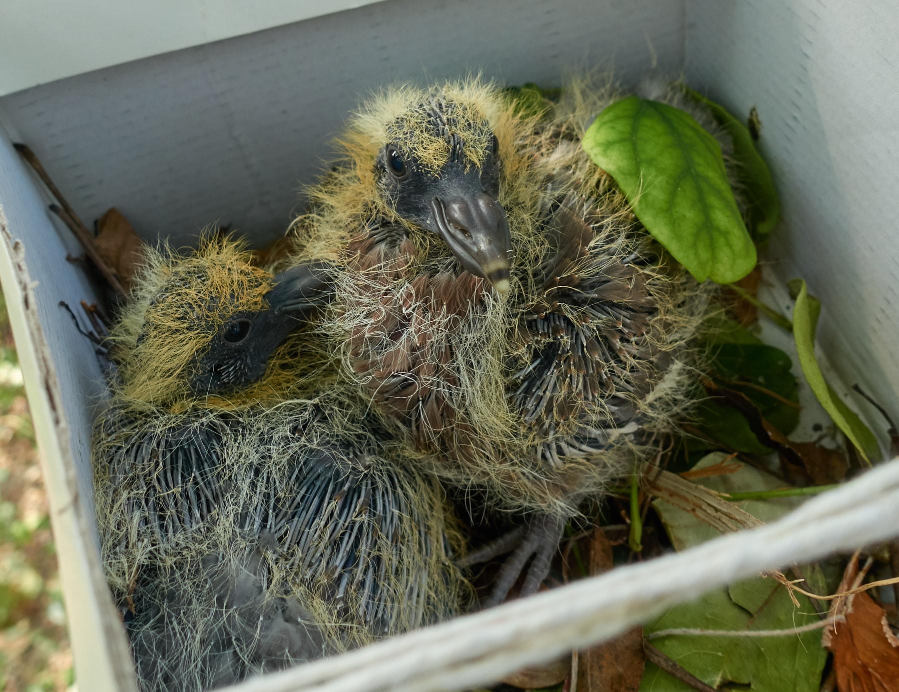 Wood-Pidgeon-Chick-Rescue-20170620-1.jpg