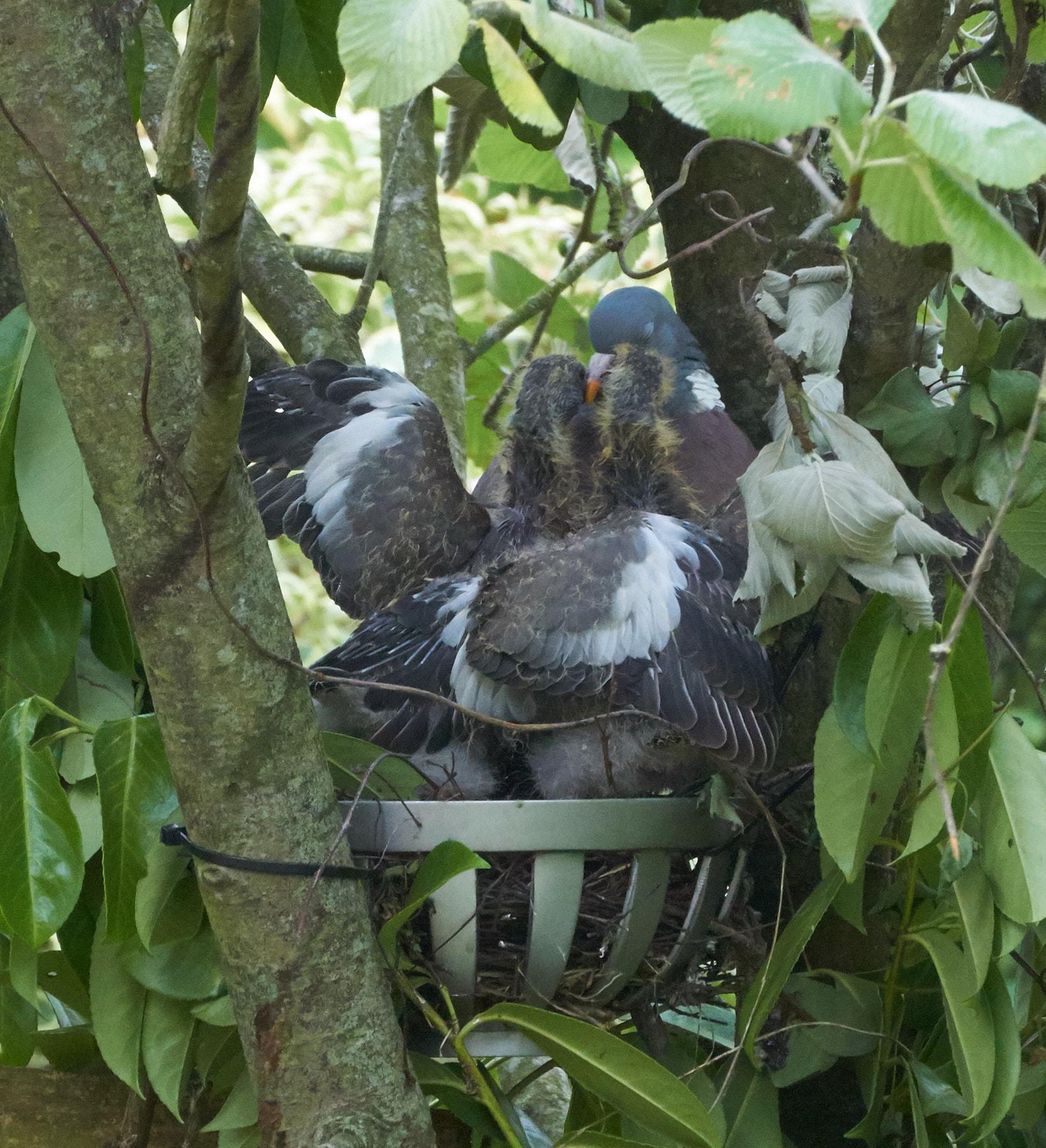 Wood-Pidgeon-Chick-Rescue-20170625-1.jpg