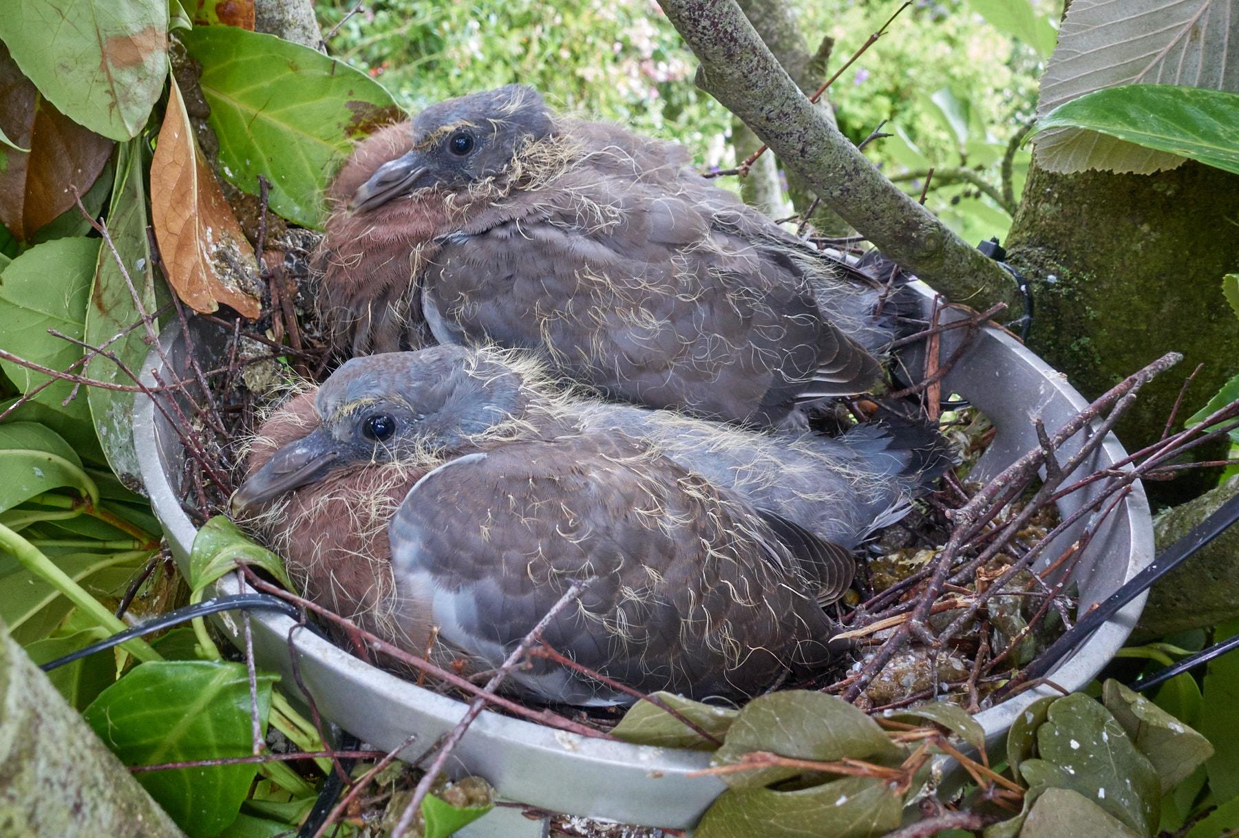 Wood-Pidgeon-Chick-Rescue-20170629-1.jpg