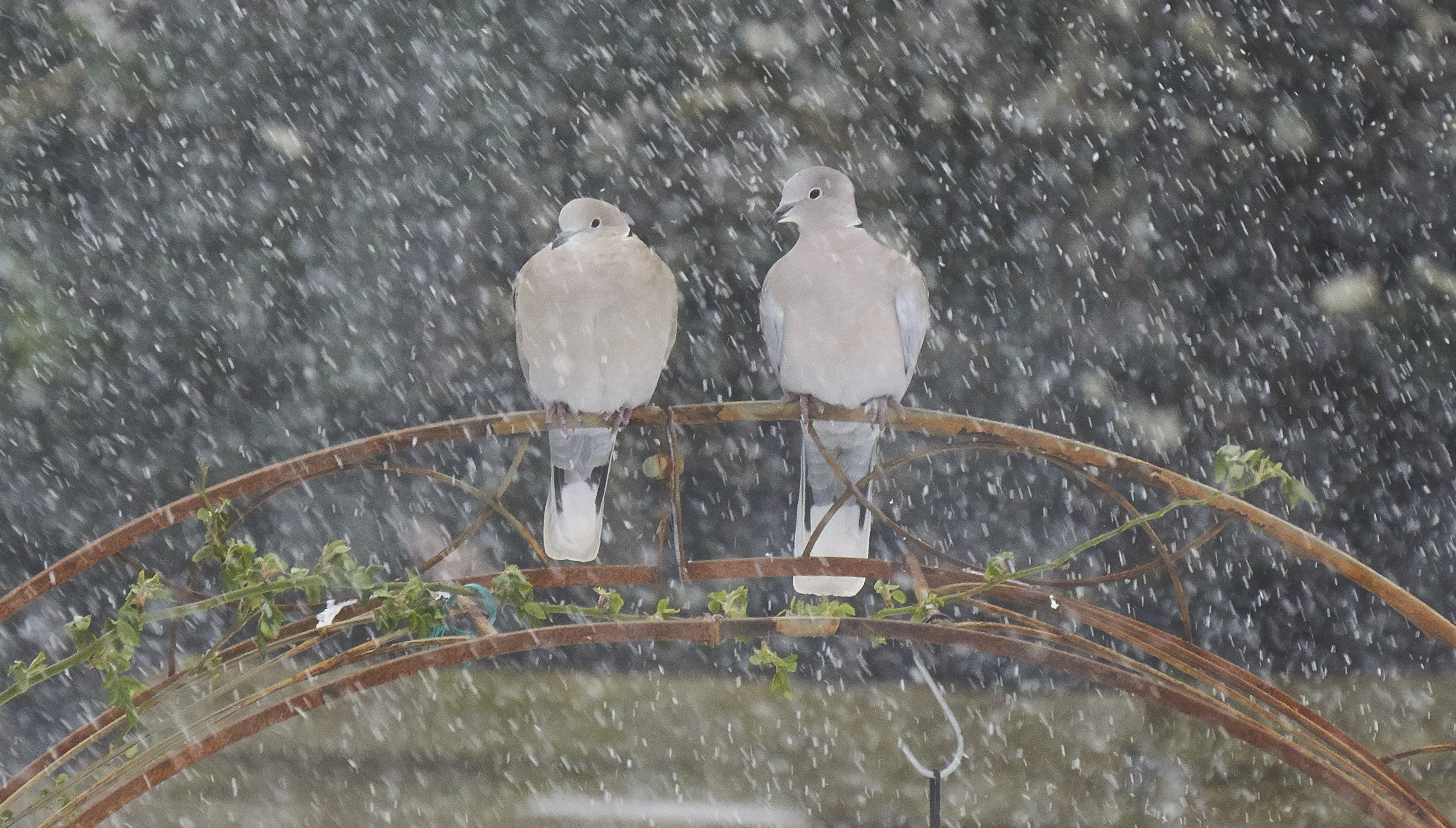 Collared-doves-at-Trinity-Cottage-201803